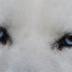 Akita Inu White Eyes Magic Photo Cubes