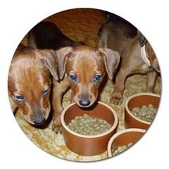 German Pinscher Puppies Magnet 5  (Round)