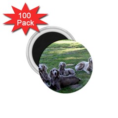 Longhair Weims 1.75  Magnets (100 pack)