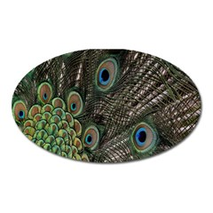 Close Up Of Peacock Feathers Oval Magnet