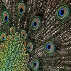 Close Up Of Peacock Feathers Canvas 20  X 20