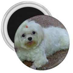Maltese Laying 3  Magnets