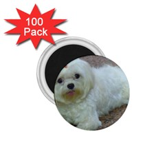 Maltese Laying 1.75  Magnets (100 pack)