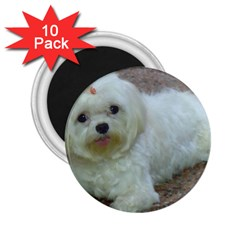 Maltese Laying 2.25  Magnets (10 pack)