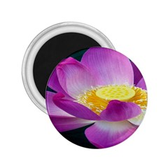 Pink Lotus Flower 2.25  Magnets