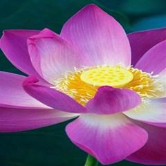 Pink Lotus Flower Magic Photo Cubes