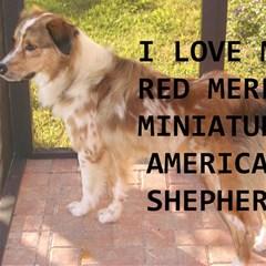 Mini Australian Shepherd Red Merle Love W Pic Magic Photo Cubes