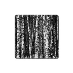 Birch Forest Trees Wood Natural Square Magnet