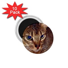 Abyssinian 2 1.75  Magnets (10 pack)