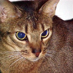 Abyssinian 2 Magic Photo Cubes