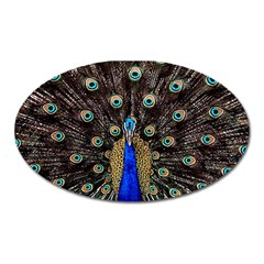 Peacock Oval Magnet