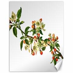 Apple Branch Deciduous Fruit Canvas 18  X 24