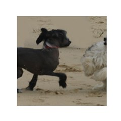 2 Chinese Crested Playing Small Satin Scarf (square)