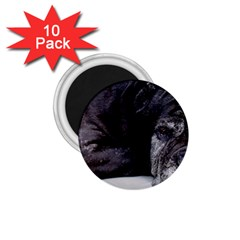 Neapolitan Mastiff Laying 1 75  Magnets (10 Pack)