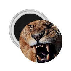 Male Lion Angry 2 25  Magnets