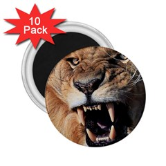 Male Lion Angry 2 25  Magnets (10 Pack)