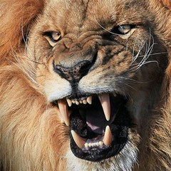 Male Lion Angry Magic Photo Cubes