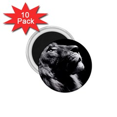 Male Lion Face 1 75  Magnets (10 Pack)