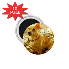 Podengo Podengo Sitting 1 75  Magnets (10 Pack)