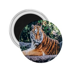 Animal Big Cat Safari Tiger 2 25  Magnets