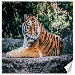 Animal Big Cat Safari Tiger Canvas 16  X 16