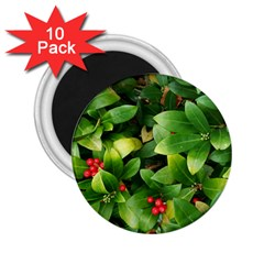 Christmas Season Floral Green Red Skimmia Flower 2 25  Magnets (10 Pack)