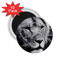 Africa Lion Male Closeup Macro 2 25  Magnets (10 Pack)