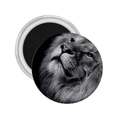 Feline Lion Tawny African Zoo 2 25  Magnets