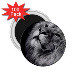 Feline Lion Tawny African Zoo 2 25  Magnets (100 Pack)