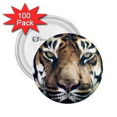 Tiger Bengal Stripes Eyes Close 2 25  Buttons (100 Pack)