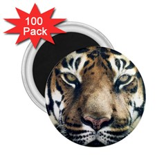 Tiger Bengal Stripes Eyes Close 2 25  Magnets (100 Pack)