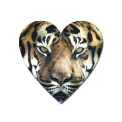 Tiger Bengal Stripes Eyes Close Heart Magnet