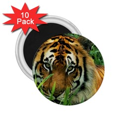 Tiger 2.25  Magnet (10 pack)