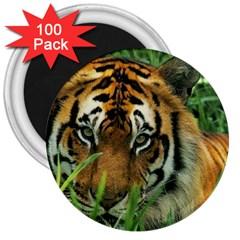 Tiger 3  Magnet (100 Pack)