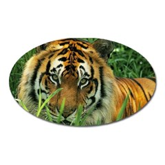 Tiger Magnet (Oval)