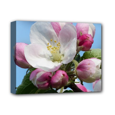 Apple Blossom  Deluxe Canvas 14  X 11  (framed)