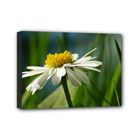 Daisy Mini Canvas 7  X 5  (framed) by Siebenhuehner