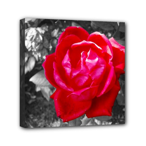 Red Rose Mini Canvas 6  X 6  (framed) by jotodesign