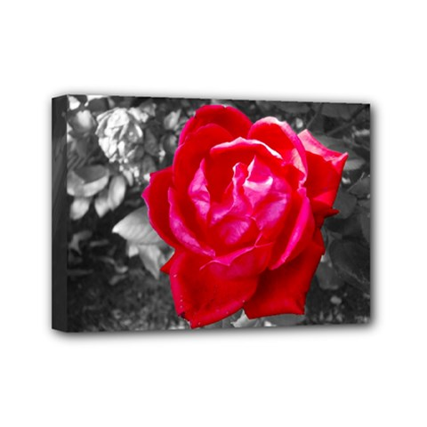 Red Rose Mini Canvas 7  X 5  (framed) by jotodesign