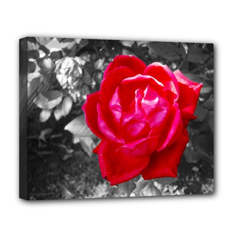Red Rose Deluxe Canvas 20  X 16  (framed) by jotodesign