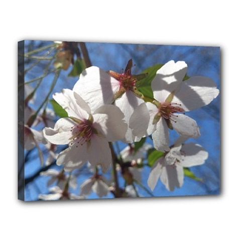 Cherry Blossoms Canvas 16  X 12  (framed) by DmitrysTravels