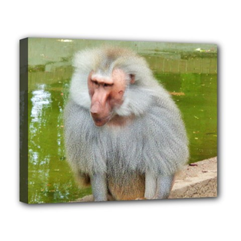 Grey Monkey Macaque Deluxe Canvas 20  X 16  (framed)