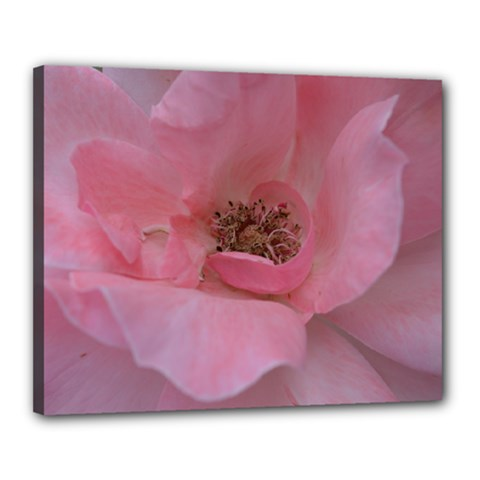 Pink Rose Canvas 20  x 16