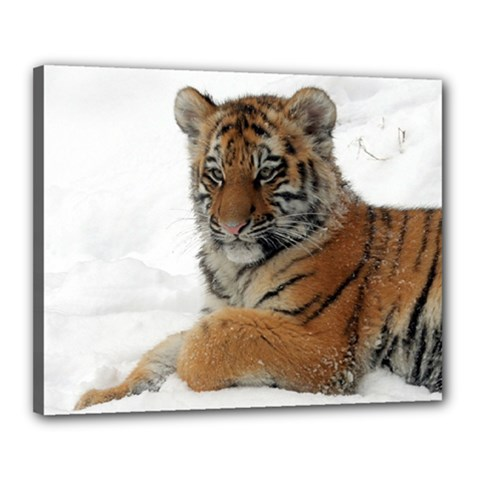 Tiger 2015 0101 Canvas 20  X 16  by JAMFoto