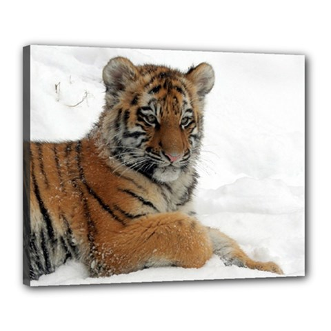 Tiger 2015 0102 Canvas 20  X 16  by JAMFoto