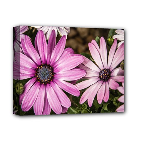 Beautiful Colourful African Daisies  Deluxe Canvas 14  X 11  by OZMedia