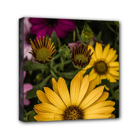 Beautiful Colourful African Daisies  Mini Canvas 6  X 6  by OZMedia