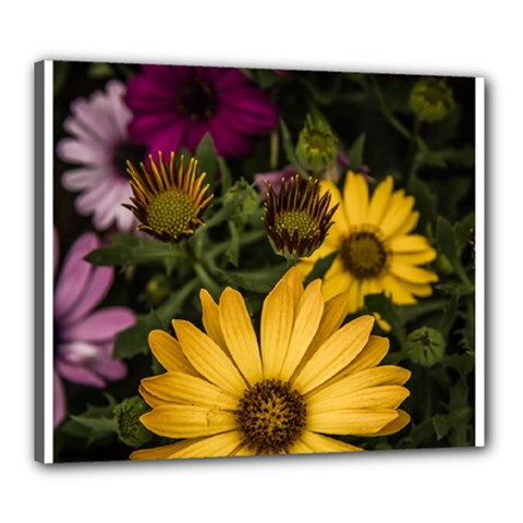 Beautiful Colourful African Daisies  Canvas 24  X 20  by OZMedia