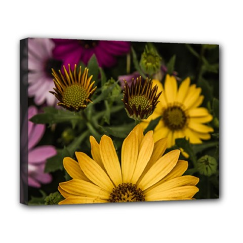 Beautiful Colourful African Daisies  Deluxe Canvas 20  X 16   by OZMedia