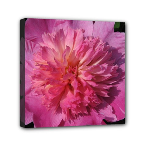 Paeonia Coral Mini Canvas 6  X 6  by trendistuff